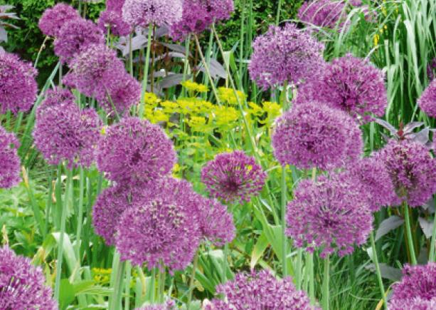 Vom Zierlauch gibt es eine grosse Vielfalt. Die Blüten können klein bis fussballgross sein.