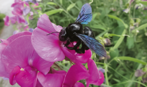 Grosse Blaue oder Blauschwarze Holzbiene (Xylocopa violacea) auf der Gartenwicke oder Duftenden Platterbse (Lathyrus sp.)