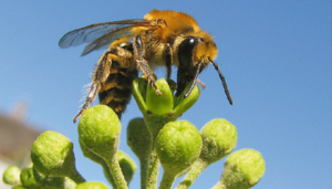 Eine Efeu-Seidenbiene (Colletes hederae) auf einer Efeublüte (Hedera helix)