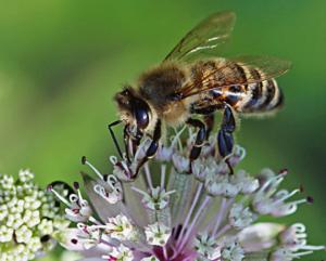 Eine Honigbiene bei ihrem Besuch auf der Strendolde (Astrantia major)