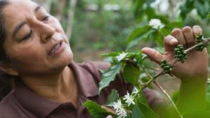 Dank Fairtrade mehr finanzielle Sicherheit: Joselinda Manueles der Comsa begutachtet eine Kaffeekirsche.